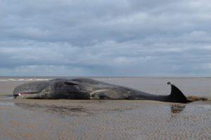 150 whales wash ashore in Australia