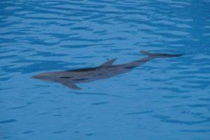 whale-dolphin hybrid discovered near Hawaii