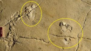 history of human evolution challenged by 5.7 million yr old footprints