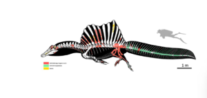 discovery of new tail bones indicates dinosaur could swim