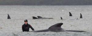 hundreds of whales die in Australia's worst ever mass stranding