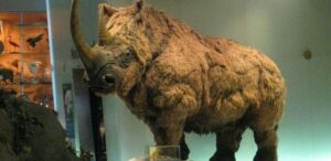 melting permafrost reveals well preserved young whoolly rhino