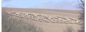 sheep photographed in bizarre crop circle formation