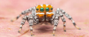 new species of peacock spider found in Australia