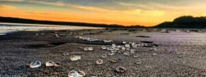thousands of alien like blobs wash up on UK beach